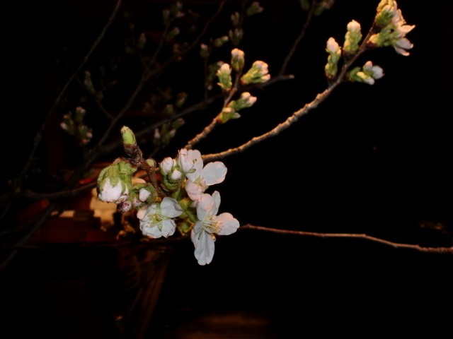 池尻おわんのブログ-ソメイヨシノ3