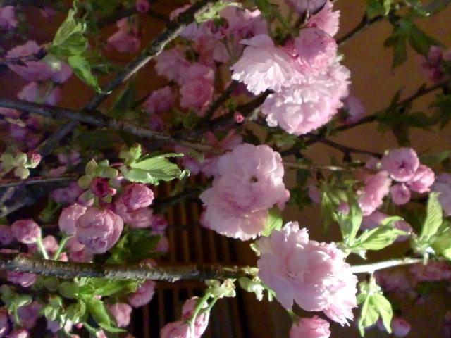 池尻おわんのブログ-八重桜2